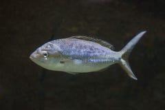 Pompano (Trachinotus ovatus). Stock Photography