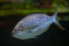 Pompano Trachinotus ovatus. Royalty Free Stock Photography