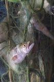 Pompanoes鱼catched与渔网 库存照片
