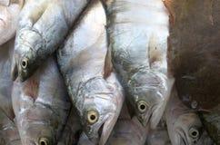 Pompanoes鱼catched与渔网 图库摄影