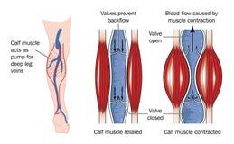 Pompe de muscle de veau Images libres de droits