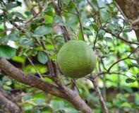 Pompelmo - frutta del pomelo Fotografie Stock