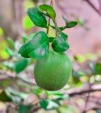 Pompelmo - frutta del pomelo Immagini Stock Libere da Diritti