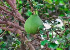 Pompelmo - frutta del pomelo Fotografia Stock