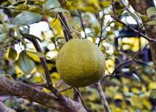Pompelmo - frutta del pomelo Fotografia Stock Libera da Diritti