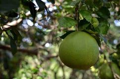 Pompelmoesfruit, Citrusvruchtenmaxima Burm merrill royalty-vrije stock afbeeldingen