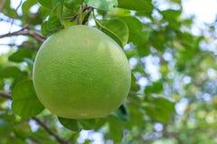 Pompelmoesfruit op de boom in tuin selectieve nadruk Royalty-vrije Stock Foto