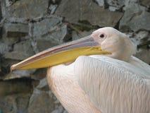 Pompeuze pelikaan Stock Afbeelding