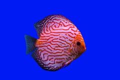 Pompidou-Fische Lizenzfreie Stockfotografie