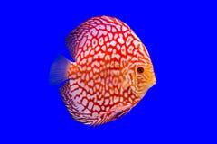 Pompidou-Fische auf blauem Hintergrund Lizenzfreies Stockfoto