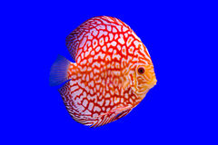 Pompadour fish on blue background Royalty Free Stock Photo