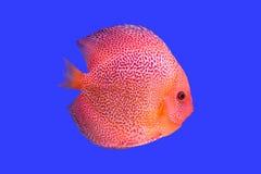 Pompadour fish on blue background Stock Photo