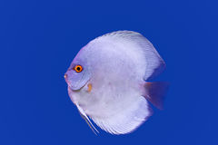 Pompadour fish on blue background Stock Photography
