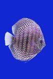 Pompidou Fish Royalty Free Stock Photos