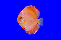 Pompadour fish Royalty Free Stock Photos