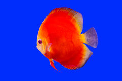 Pompadour fish series Royalty Free Stock Photo