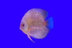 Pompadour fish series Stock Image