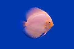 Pompadour fish series Stock Photos