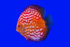 Pompidou fisk Fotografering för Bildbyråer