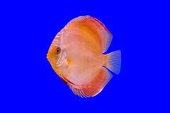 Pompidou fisk Royaltyfria Foton