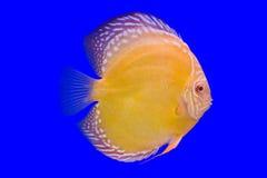 在蓝色背景的Pompidour鱼 库存图片
