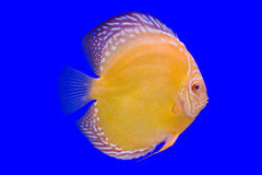 Pompadour fish on blue background Stock Images
