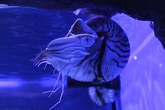 Pompilius del nautilus de los moluscos fotos de archivo