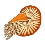Pompilius för havsvarelsenautilus skaldjur eller blötdjur eller mussla den inristade handen som dras i gammalt, skissar, tappning Royaltyfri Foto