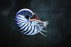 Pompillius de Nautilus photos libres de droits