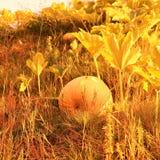 Pompoen in de tuin in oranje tonen stock afbeeldingen