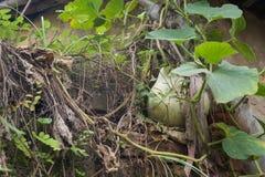 Pompoen in de wildernis, over een oud monument wordt gekweekt dat Royalty-vrije Stock Fotografie