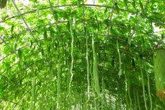 Pompoen en momordica in organisch landbouwbedrijf Stock Afbeelding