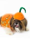 Pompoen-geklede Hond Stock Foto's