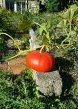 Pompoen het groeien in tuin Royalty-vrije Stock Afbeeldingen