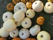 Pompoen het oogsten De pompoenen van Halloween De herfst landelijke rustieke achtergrond met pompoen Stock Afbeeldingen