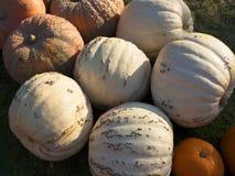 Pompoen het oogsten De pompoenen van Halloween De herfst landelijke rustieke achtergrond met pompoen Royalty-vrije Stock Fotografie