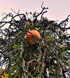 Pompoen op een verdraaide boom Royalty-vrije Stock Afbeelding