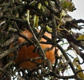 Pompoen op een verdraaide boom Royalty-vrije Stock Fotografie