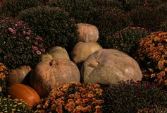 Pompoenbloemen de reeks van de de herfstsamenstelling van chrysanten bloemenachtergrond Stock Fotografie