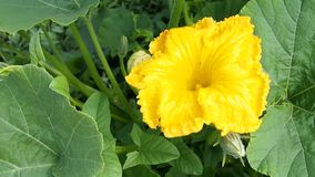 Pompoenbloemen in de tuin Royalty-vrije Stock Afbeeldingen
