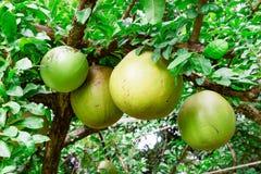 Pompoenboom met vruchten Stock Afbeeldingen