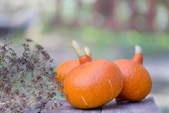 Pompoenen bij het landbouwbedrijf klaar om zijn verbeterd, symbool van Dankzegging stock afbeeldingen