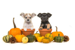 Pompoenen en twee bloempotten met twee honden van het chihuahuapuppy Stock Fotografie