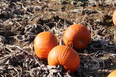 Pompoenflard op landbouwgrond de gravures van Halloween van de familiepret stock foto's