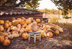 Pompoenoogst in het dorp stock fotografie