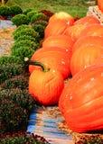Pompoenoogst in lokaal landbouwbedrijf Royalty-vrije Stock Fotografie