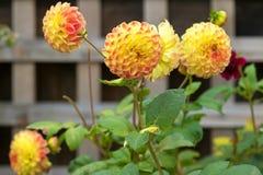 Pompomdahliablommor i gul färg som blommar i trädgården Fotografering för Bildbyråer