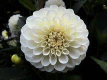 Pompon branco Dahlia Flower da bola imagem de stock