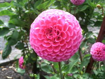 Pompon Dahlia Royalty Free Stock Images