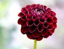 Pompon dahlia `Natal`. Beautiful dark red pompon dahlia `Natal Royalty Free Stock Photography